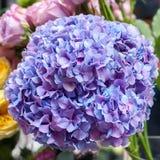 Κινηματογράφηση σε πρώτο πλάνο λουλουδιών Hydrangea Στοκ Εικόνα