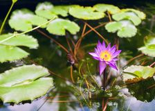Κινηματογράφηση σε πρώτο πλάνο λουλουδιών Lotus στο νερό στοκ φωτογραφίες
