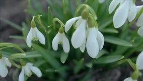 Κινηματογράφηση σε πρώτο πλάνο λουλουδιών Snowdrop ή galanthus φιλμ μικρού μήκους