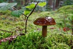 Κινηματογράφηση σε πρώτο πλάνο μανιταριών Bolete κόλπων στο δάσος Στοκ φωτογραφία με δικαίωμα ελεύθερης χρήσης