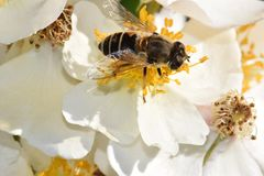 Κινηματογράφηση σε πρώτο πλάνο μελισσών στον άσπρο ουρανό λουλουδιών στοκ φωτογραφία με δικαίωμα ελεύθερης χρήσης