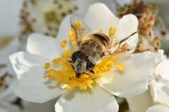 Κινηματογράφηση σε πρώτο πλάνο μελισσών στο άσπρο λουλούδι στοκ εικόνα με δικαίωμα ελεύθερης χρήσης