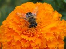 Κινηματογράφηση σε πρώτο πλάνο μελισσών Στοκ φωτογραφία με δικαίωμα ελεύθερης χρήσης