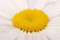 Κινηματογράφηση σε πρώτο πλάνο με το chamomile λουλούδι στοκ φωτογραφία