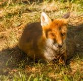 Κινηματογράφηση σε πρώτο πλάνο μιας αλεπούς που στηρίζεται σε ένα πάρκο Στοκ Εικόνα