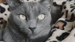 Κινηματογράφηση σε πρώτο πλάνο μιας γκρίζας γάτας απόθεμα βίντεο