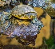 Κινηματογράφηση σε πρώτο πλάνο μιας κίτρινης διογκωμένης χελώνας ολισθαινόντων ρυθμιστών σε έναν βράχο, δημοφιλές έρπον κατοικίδι στοκ φωτογραφία