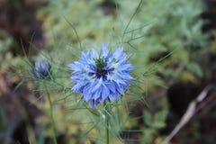 Κινηματογράφηση σε πρώτο πλάνο μιας μπλε αγάπης λουλουδιών σε μια υδρονέφωση, damascena Nigella στα πράσινα υπόβαθρα Στοκ Εικόνα