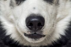 Κινηματογράφηση σε πρώτο πλάνο μιας μύτης σκυλιών ` s Κλείστε αυξημένος της μύτης σκυλιών Μύτη σκυλιών Όμορφο γεροδεμένο κεφάλι σ στοκ εικόνες με δικαίωμα ελεύθερης χρήσης