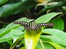 Κινηματογράφηση σε πρώτο πλάνο μιας παρακολουθημένου jay πεταλούδας ή ενός graphium agamemnon σε ένα λιβάδι Στοκ φωτογραφίες με δικαίωμα ελεύθερης χρήσης