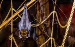 Κινηματογράφηση σε πρώτο πλάνο μιας πετώντας αλεπούς των lyle που κρεμά τροπικού και τρωτού ροπάλων specie κλάδων, από την Ασία,  στοκ εικόνα με δικαίωμα ελεύθερης χρήσης