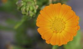 Κινηματογράφηση σε πρώτο πλάνο μιας πορτοκαλιάς μαργαρίτας χρώματος στοκ εικόνα