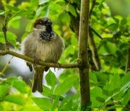 Κινηματογράφηση σε πρώτο πλάνο μιας συνεδρίασης σπουργιτιών σπιτιών σε ένα δέντρο, κοινό specie πουλιών από την Ευρασία, υπόβαθρο στοκ εικόνες με δικαίωμα ελεύθερης χρήσης