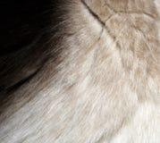 Κινηματογράφηση σε πρώτο πλάνο μιας σύστασης γουνών από τη γάτα ` s που αφήνεται τον ώμο Στοκ Φωτογραφίες