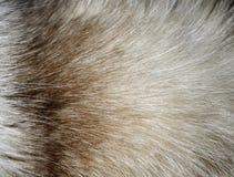 Κινηματογράφηση σε πρώτο πλάνο μιας σύστασης γουνών από τον αυχένα γατών ` s Στοκ Εικόνα