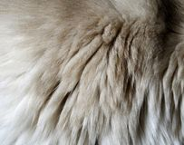 Κινηματογράφηση σε πρώτο πλάνο μιας σύστασης γουνών από το δεξιό ώμο γατών ` s Στοκ φωτογραφία με δικαίωμα ελεύθερης χρήσης