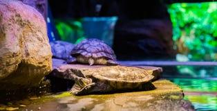Κινηματογράφηση σε πρώτο πλάνο μιας χελώνας ολισθαινόντων ρυθμιστών του Cumberland που βάζει σε έναν βράχο με δύο άλλες χελώνες σ στοκ εικόνες