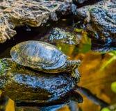 Κινηματογράφηση σε πρώτο πλάνο μιας χελώνας ολισθαινόντων ρυθμιστών του Cumberland σε έναν βράχο στο δευτερεύον, δημοφιλές κατοικ στοκ φωτογραφία με δικαίωμα ελεύθερης χρήσης