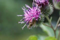 Κινηματογράφηση σε πρώτο πλάνο μιας χνουδωτής καυκάσιας μέλισσας του γένους Melitta σε ένα pur στοκ φωτογραφία