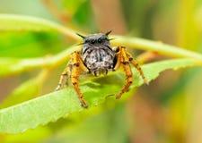 Κινηματογράφηση σε πρώτο πλάνο μιας adorably χαριτωμένης αρσενικής αράχνης άλματος mystaceus Phidippus, στοκ εικόνα