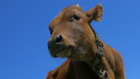 Κινηματογράφηση σε πρώτο πλάνο μόσχων, κεφάλι αγελάδων απόθεμα βίντεο