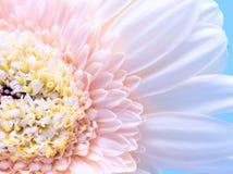 Κινηματογράφηση σε πρώτο πλάνο πετάλων λουλουδιών Gerbera Στοκ Εικόνες