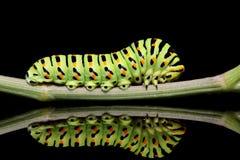 Κινηματογράφηση σε πρώτο πλάνο πεταλούδων του Caterpillar mahaon σε ένα μαύρο υπόβαθρο με την ασυνήθιστη αντανάκλαση Στοκ Εικόνες