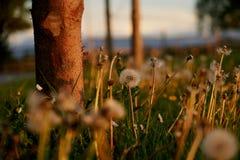 Κινηματογράφηση σε πρώτο πλάνο πικραλίδων στο ηλιοβασίλεμα Στοκ Φωτογραφία