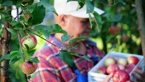 Κινηματογράφηση σε πρώτο πλάνο, πορτρέτο του αρσενικού αγρότη ή του γεωπόνου, μήλα επιλογής στο αγρόκτημα στον οπωρώνα, την ηλιόλ φιλμ μικρού μήκους