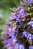 Κινηματογράφηση σε πρώτο πλάνο που βλασταίνεται της μέλισσας στο μπλε και πορφυρό λουλούδι Στοκ εικόνες με δικαίωμα ελεύθερης χρήσης