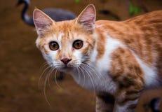 Κινηματογράφηση σε πρώτο πλάνο που πυροβολείται της ασιατικής γάτας στοκ φωτογραφία