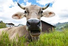 Κινηματογράφηση σε πρώτο πλάνο προσώπου αγελάδων Στοκ εικόνα με δικαίωμα ελεύθερης χρήσης