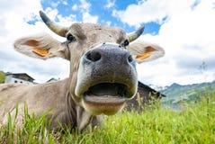 Κινηματογράφηση σε πρώτο πλάνο προσώπου αγελάδων Στοκ Εικόνα