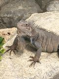 Κινηματογράφηση σε πρώτο πλάνο σαυρών Iguana στη Αρούμπα στοκ εικόνες με δικαίωμα ελεύθερης χρήσης