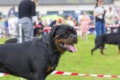 Κινηματογράφηση σε πρώτο πλάνο σκυλιών Rottweiler Στοκ Εικόνα