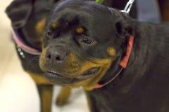 Κινηματογράφηση σε πρώτο πλάνο σκυλιών Rottweiler Στοκ Φωτογραφίες