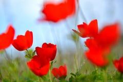 Κινηματογράφηση σε πρώτο πλάνο στα κόκκινα λουλούδια anemone στην πράσινη χλόη Στοκ Φωτογραφία