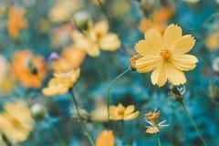 Κινηματογράφηση σε πρώτο πλάνο στο ανθισμένο κίτρινο λουλούδι Στοκ Εικόνες