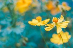 Κινηματογράφηση σε πρώτο πλάνο στο ανθισμένο κίτρινο λουλούδι Στοκ φωτογραφίες με δικαίωμα ελεύθερης χρήσης