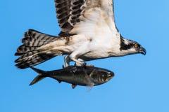 Κινηματογράφηση σε πρώτο πλάνο σύλληψης Osprey Στοκ Εικόνα