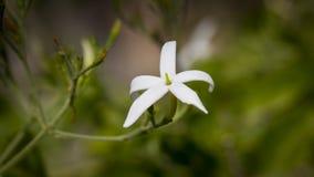Κινηματογράφηση σε πρώτο πλάνο της άσπρης Jasmine στο λουλούδι στοκ φωτογραφία με δικαίωμα ελεύθερης χρήσης