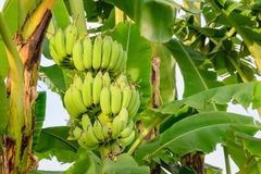 Κινηματογράφηση σε πρώτο πλάνο της ένωσης μπανανών, τομέας μπανανών, αγρόκτημα μπανανών Στοκ Φωτογραφίες