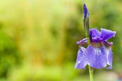Κινηματογράφηση σε πρώτο πλάνο της ανθίζοντας πορφυρής sibirian ίριδας sibirica της Iris με τις σταγόνες βροχής μπροστά από το φυ Στοκ Εικόνες