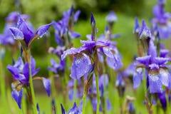 Κινηματογράφηση σε πρώτο πλάνο της ανθίζοντας πορφυρής sibirian ίριδας sibirica της Iris την άνοιξη με τις σταγόνες βροχής μπροστ Στοκ εικόνες με δικαίωμα ελεύθερης χρήσης