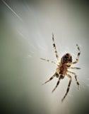 Κινηματογράφηση σε πρώτο πλάνο της αράχνης Στοκ Εικόνες