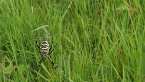 Κινηματογράφηση σε πρώτο πλάνο της αράχνης Argiope, φιλμ μικρού μήκους
