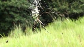 Κινηματογράφηση σε πρώτο πλάνο της αράχνης Argiope απόθεμα βίντεο