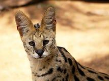 Κινηματογράφηση σε πρώτο πλάνο της αφρικανικής άγριας γάτας Serval Στοκ Εικόνες