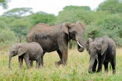 Κινηματογράφηση σε πρώτο πλάνο της αφρικανικής οικογένειας ελεφάντων στοκ φωτογραφίες με δικαίωμα ελεύθερης χρήσης
