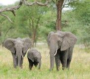 Κινηματογράφηση σε πρώτο πλάνο της αφρικανικής οικογένειας ελεφάντων στοκ εικόνες